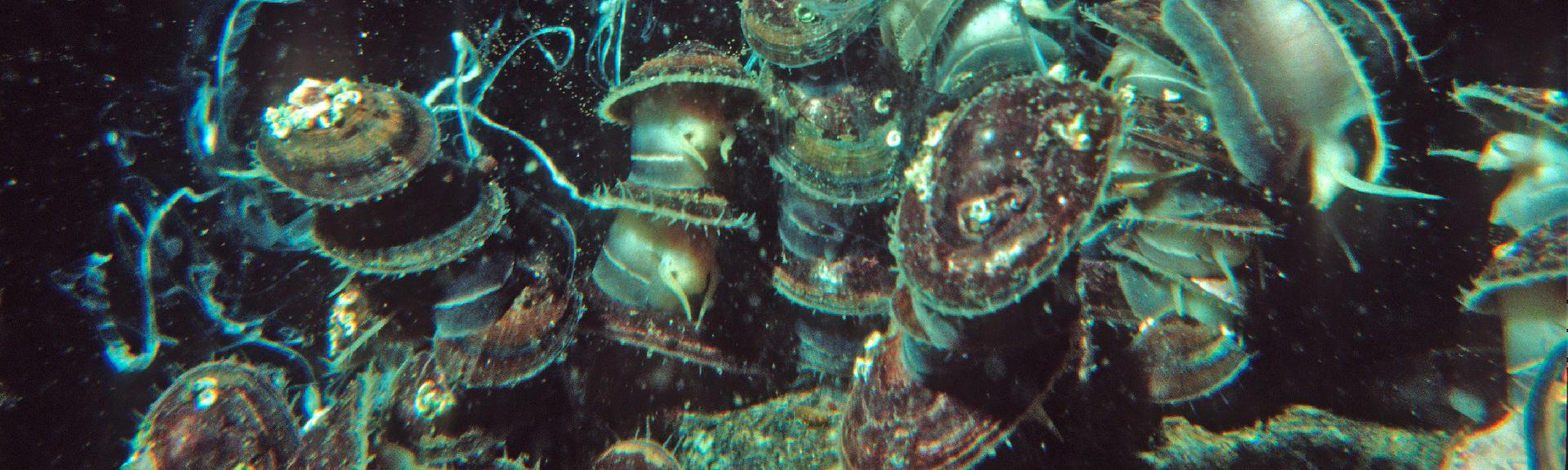 Bei der Fortpflanzung klettern die Napf-schnecken aufeinander, so dass sich Eier und Spermien in unmittelbarer Nähe befinden, wenn sie sie ins Wasser abgeben.